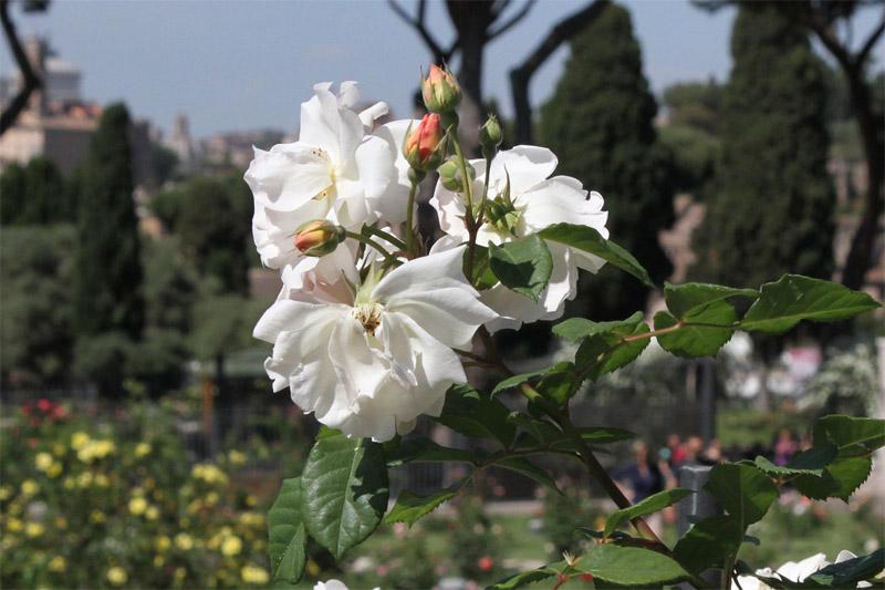 jardin-des-roses-rome