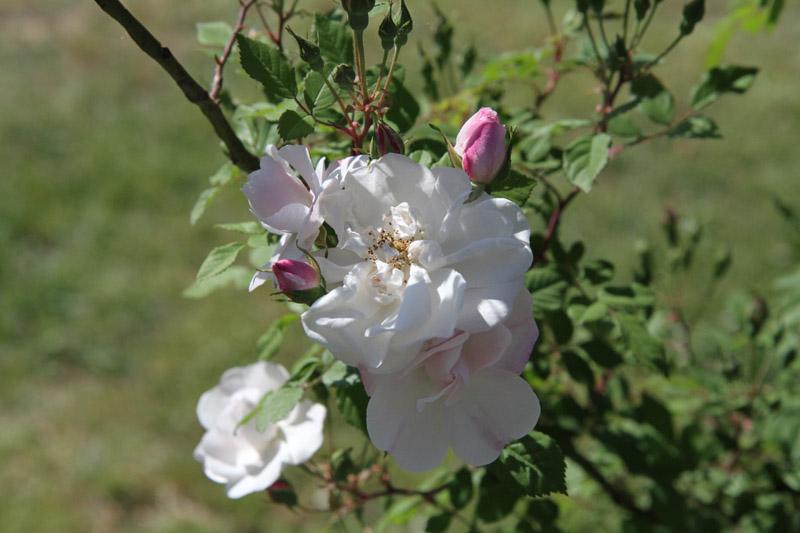 jardin-des-roses-rome3